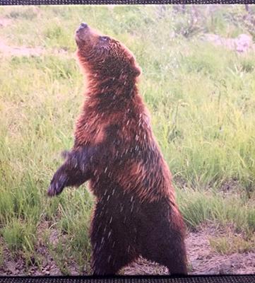 33_Brown Bear_Tom Fanatiaweb